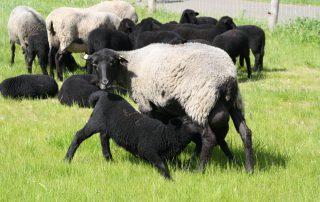 Schafe zählen